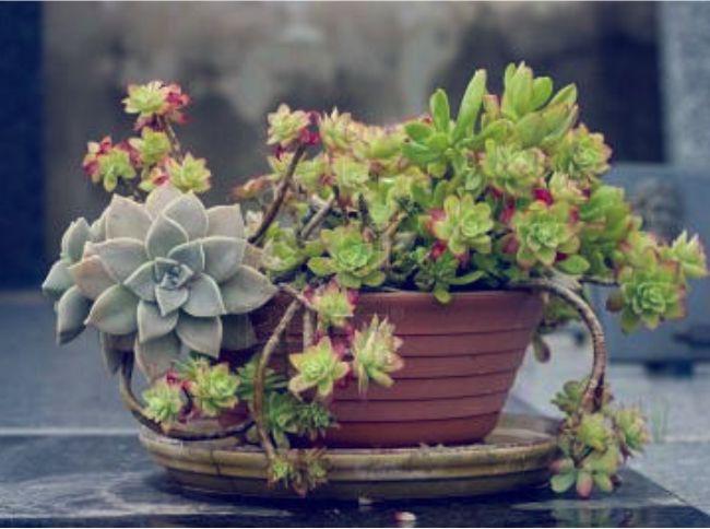 Suculentas ese extra o cactus enmimetrocuadrado for Curso cactus y suculentas